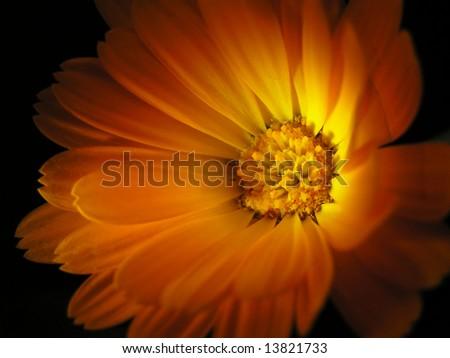 Marigold isolated on black(calendula officinalis) - stock photo