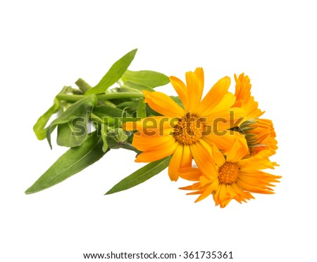 Marigold medicinal herb (Calendula officinalis) isolated on white - stock photo