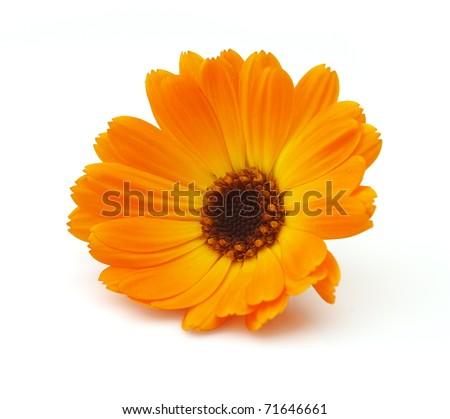 Marigold on a white background - stock photo