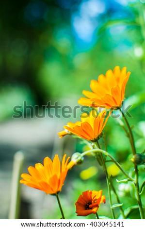 Marigold orange flowers growing in garden. Calendula officinalis. - stock photo