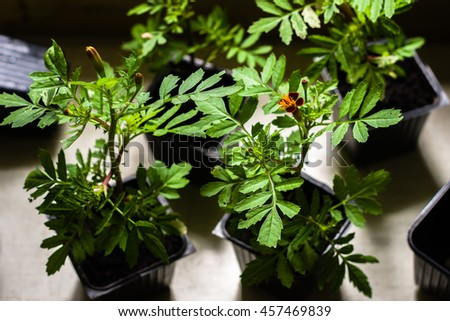 Marigold seedlings in the small black pots with black soil, horticulture and the flower planting concept  - stock photo
