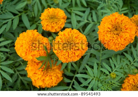 Marigold - Tagetes erecta L. - stock photo