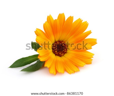 Marigold with leaves - stock photo