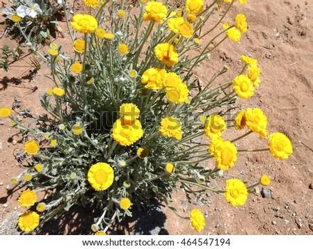 Marigold yellow desert flowers arizona usa april stock photo edit marigoldyellow desert flowers arizona usa april 2016 mightylinksfo