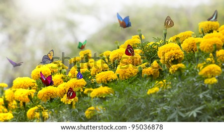 Marigold Yellow Flower with butterfly - stock photo