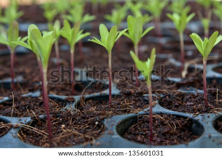 Marigold Young plant - stock photo