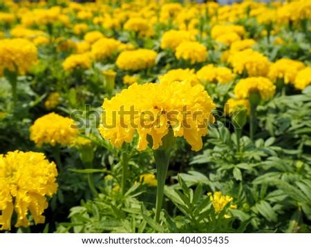 Marigolds blooming in the garden. - stock photo