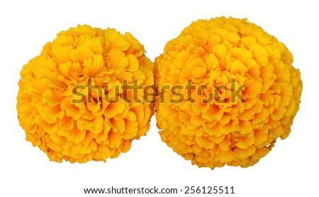 Marigolds flower on a white background - stock photo