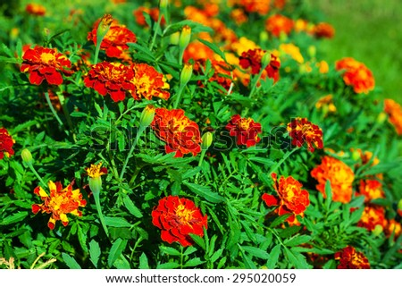 Marigolds flowers bed close-up view. - stock photo