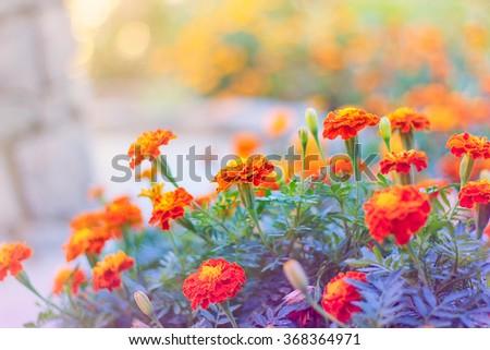 Marigolds in the early morning sunshine, Orange flowers - stock photo