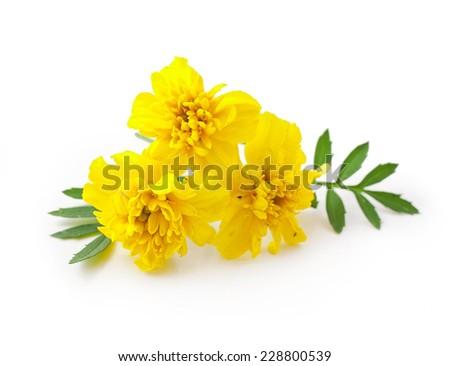 marigolds isolated on white background  - stock photo