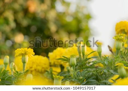 Marigolds Tagetes Erecta Mexican Marigold Aztec Stock Photo (Safe to ...