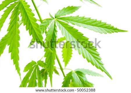 Marijuana Border - stock photo