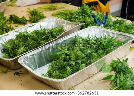 marijuana buds in tins. The buds are waiting to be trimmed by workers. - stock photo