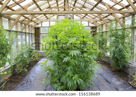 Marijuana ( cannabis), hemp plant growing inside of the green house in private garden of Washington State. Legal Medical marijuana law in US. Grower uses leaves to make juice for health support. - stock photo