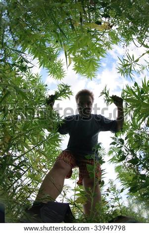 marijuana field and man - stock photo