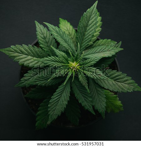 marijuana in pot vegetation. on a black background, new photo, top view, indica