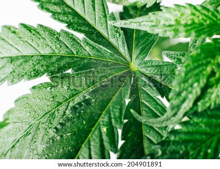 marijuana leaf background - stock photo