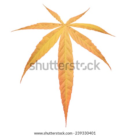 marijuana leaf, Cannabis leaf isolated on white with clipping path. - stock photo