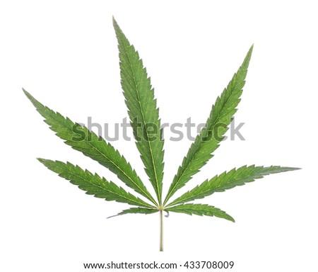 marijuana leaf on a white background isolate. close-up - stock photo