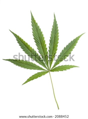 marijuana leaf on th whiyw background
