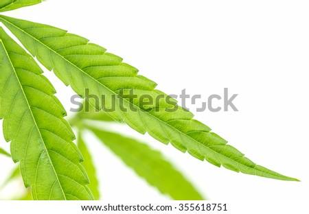 marijuana leaf ,shot in the studio - stock photo