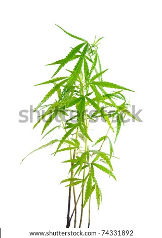 marijuana leaf wet on white background - stock photo