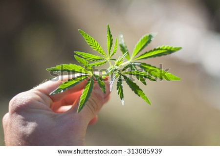 Marijuana leafs - stock photo