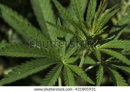 Marijuana leaves growing in the wild - stock photo