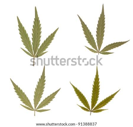 Marijuana leaves isolated over white background. Addictive drug - stock photo