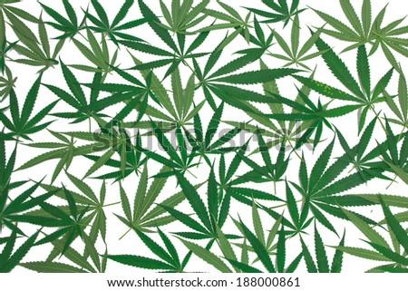 marijuana leaves on white background - stock photo