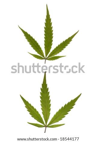 Marijuana leaves. Very High res. scan - stock photo