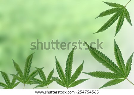 Marijuana leaves with a blurred background - stock photo
