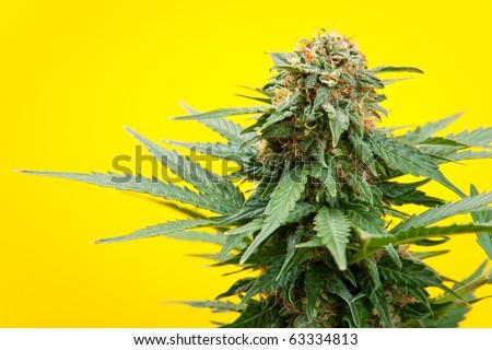 marijuana on a yellow background - stock photo