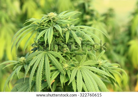 marijuana plant as very nice natural background - stock photo