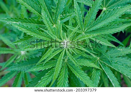 Marijuana plant at early flowering stage - stock photo