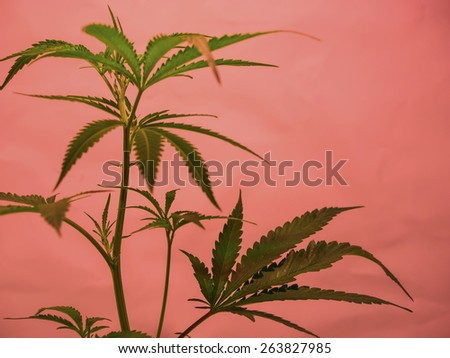 Marijuana plant, Cannabis Background. - stock photo