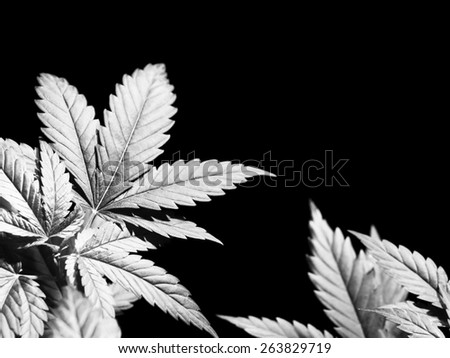 Marijuana plant, Cannabis Background. - stock photo