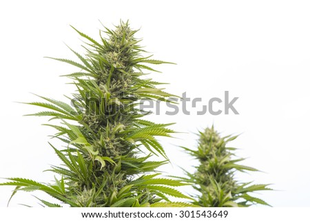 Marijuana plant closeup, legally grown in California for medical purposes, ripe and ready for harvesting.  - stock photo