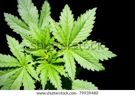 Marijuana Plant green on a black background.  Cannabis (marijuana) - is an annual plant of the family Konoplev (Cannabaceae). - stock photo