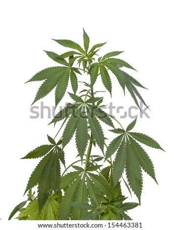 Marijuana plant isolated on white - stock photo