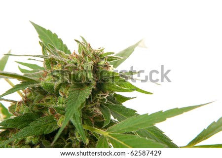Marijuana plant isolated on white background - stock photo
