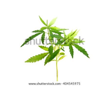 Marijuana plant isolated on white background (with clipping path) - stock photo