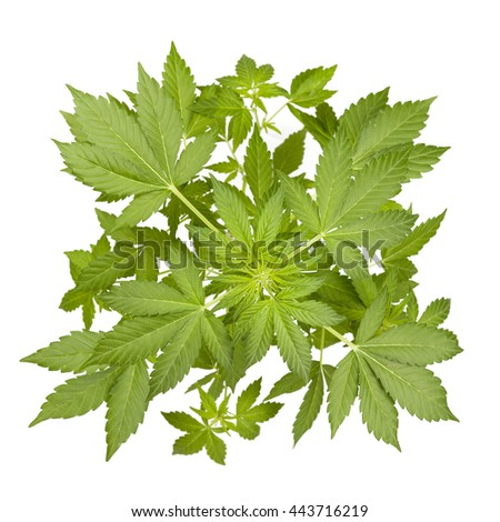 Marijuana plant isolated on white. Top view.