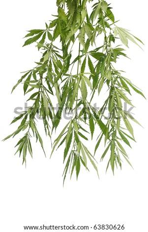 Marijuana plant. Marijuana Background. - stock photo