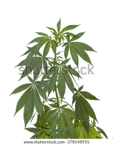 Marijuana plant. Medical cannabis isolated on white - stock photo