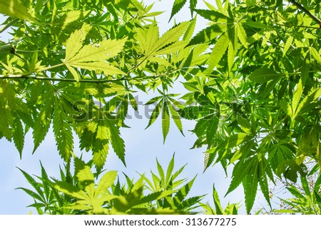 Marijuana plant with healthy green leaves - green background - stock photo