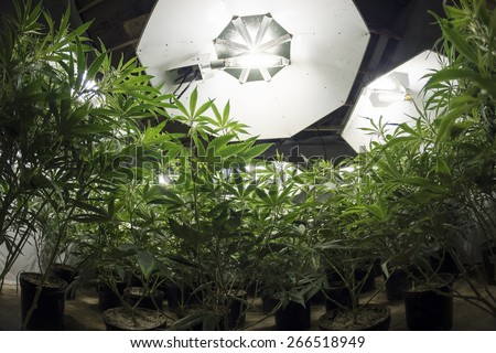 Marijuana Plants Looking Up at Lights - stock photo