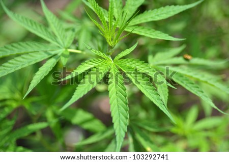 Marijuana plants taken in Chiang Mai Thailand - stock photo