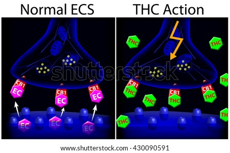 Marijuana (THC) action on ECS synapse.  - stock photo